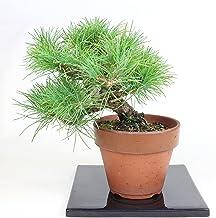 清香園 樹齢約20年 根張りコケ順枝ぶりのいい 実生四国五葉松 素材
