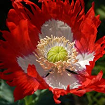 Outsidepride Papaver Danish Flag Poppy Seed - 10000 Seeds