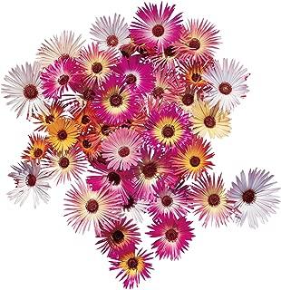 Burpee Harlequin Mix Ice Plant Seeds 120 seeds