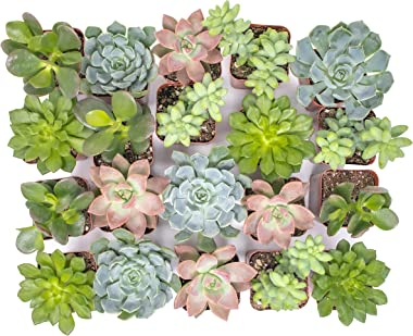 Succulent Plants (20 Pack) Fully Rooted in Planter Pots with Soil, Real Potted Succulents Plants Live Houseplants, Unique Ind