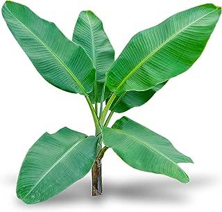 Gran Nain Banana Musa Acuminata Live Tree
