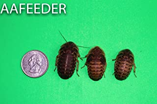 25 Extra Large Dubia Roaches