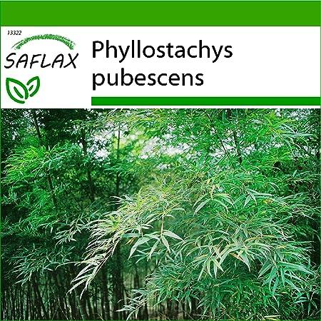 SAFLAX - Bambú moso - 20 semillas - Con sustrato estéril para cultivo - Phyllostachys pubescens