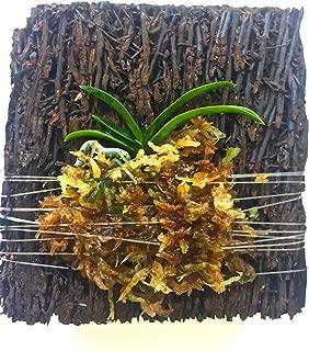 Neofinetia (Vanda) falcata 'Hisui' (Jade) Tree Fern Mounted Miniature Orchid -Long Fiber Sphagnum Moss Wrapped