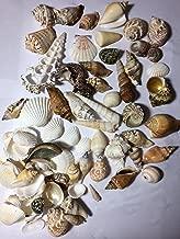 gulf of mexico shells