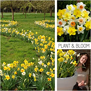 Plant & Bloom Narcissus Flower Bulbs from Holland, 20 Bulbs - Mixed Colours - Easy to Grow Daffodils - for Fall Planting in Your Garden - Top Dutch Quality - Yellow, White Blooms - Landscape Bag