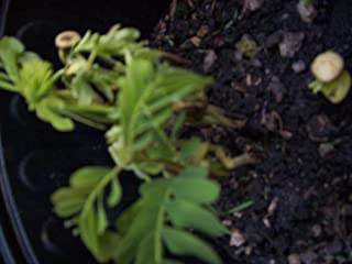 Tamarind Plant For Sale Tropical Fruits 1 Tamarind Plant Exotic Fruit Plant