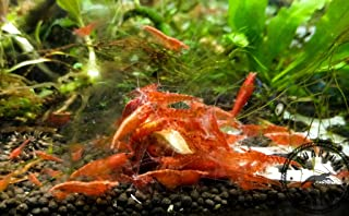 Best freshwater ornamental shrimp Reviews