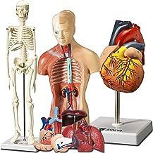 Evviva Science Heart Human، Torso and Skeleton Model - بهترین مجموعه از 3 ابزار مطالعه مدل 3D Hands-On برای دانشجویان آناتومی و فیزیولوژی - با راهنمای آناتومیکی توسط پزشکان - کیت یادگیری برای کودکان