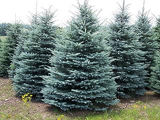 25 Colorado Blue Spruce, Picea pungens glauca, Tree Seeds EXCELLENT BONSAI SPECIMEN or Charismas Tree