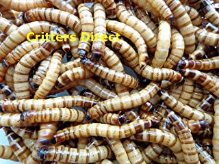 Critters Direct Live Superworms, Gut Loaded !!! (Qty-100)