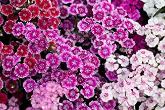 Sweet Yards Seed Co. Sweet William Seeds – Mixed Colors – Bulk Quarter Pound Bag – Over 120,000 Open Pollinated Non-GMO Flower Seeds – Dianthus barbatus