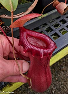 Tropical Pitcher Plant - Large Nepenthes ventricosa red - Carnivorous Plant