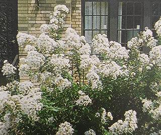 Best white crape myrtle bush Reviews