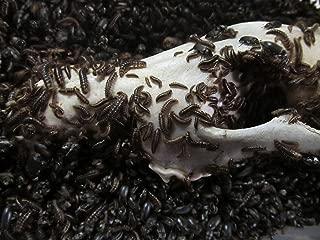 bone cleaning beetles