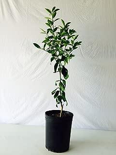 3-4 Foot Owari Satsuma Orange Tree in 3.5-Gallon Pot