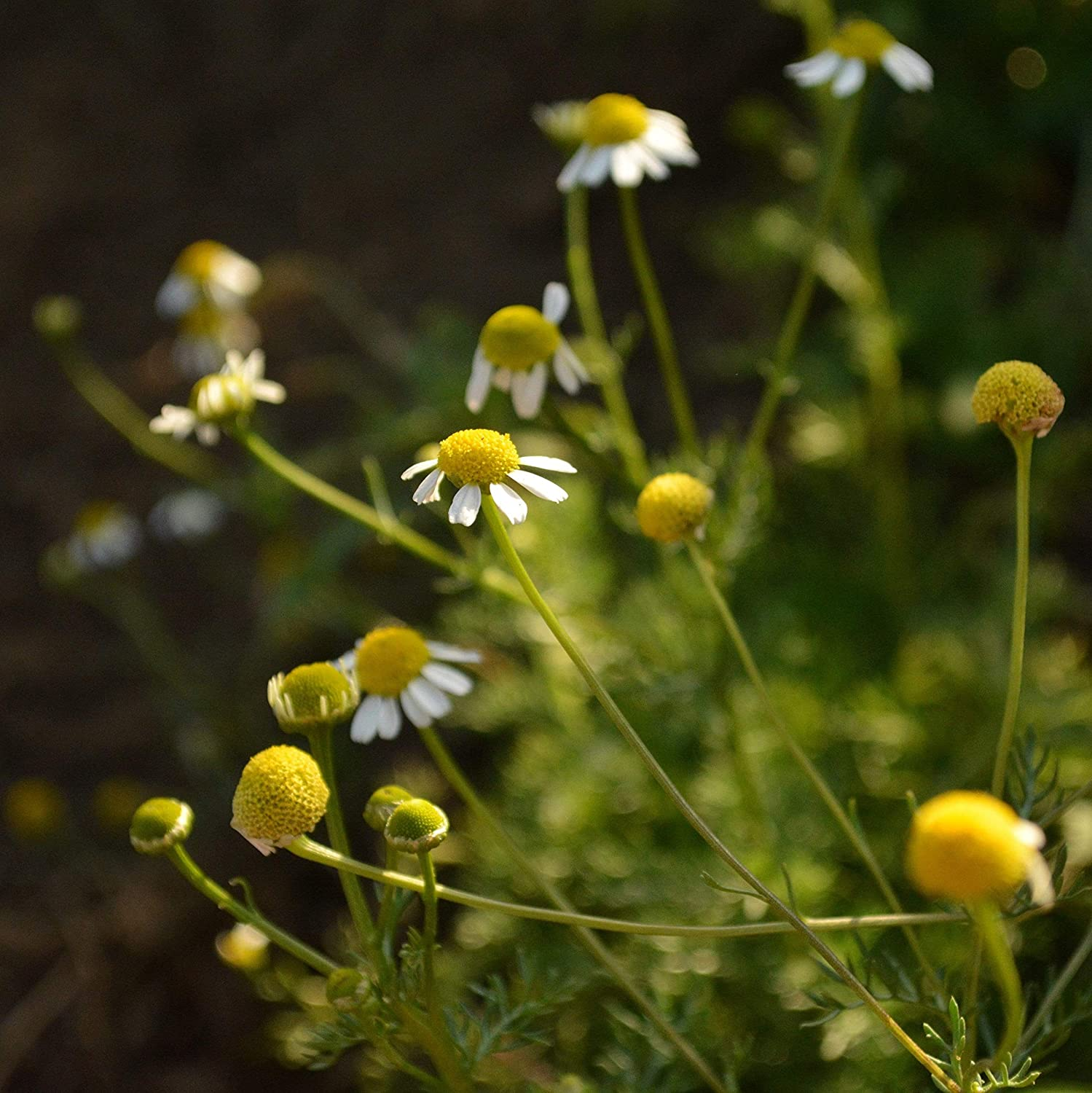 German Chamomile - Our shop OFFers the best service 250 Houston Mall Seeds