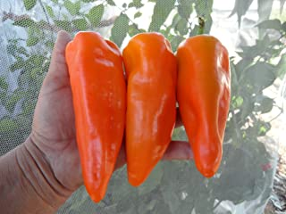 Gatherers Gold Sweet Pepper 10+ Seeds