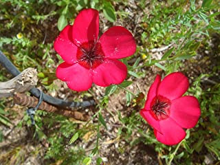 HOT - Flax, Scarlet, Drought Tolerant, Scarlet red Flower, 43 Seeds! GroCo