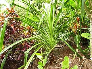 * Pandanus Furcatus * Himalayan Screw Pine Tree * 3 Fresh Seeds * RARE *