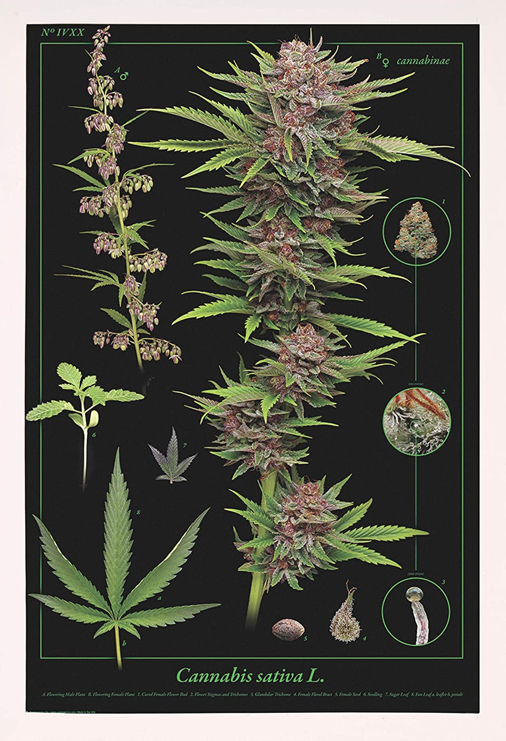 Frame USA Cannabis 4 years warranty Anatomy Medium Poster Affordable In stock White