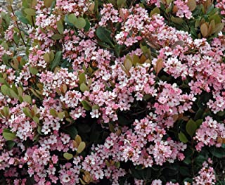 Indian Hawthorn, Eleanor Tabor, Pink Lady, Rhaphiolepis Indica,Potted Live Plant