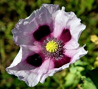 500 Izmir Poppy Turkish Papaver Somniferum Setigerum White & Purple Flower (ASF) SeedsFlat Shipping