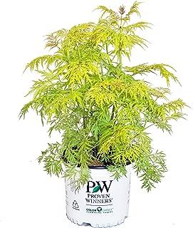 Proven Winners - Sambucus racemosa Lemony Lace (Elderberry) Shrub, , #3 - Size Container