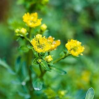 Outsidepride Rue Herb Plant Flower Seeds - 1000 Seeds
