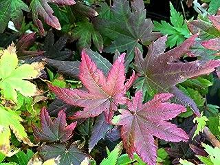 BURGUNDY JEWEL DWARF OREGON VINE MAPLE - A DWARF PEURPLE/RED LEAF SELECTION OF OUR NATIVE VINE MAPLE - 3 - YEAR LIVE PLANT