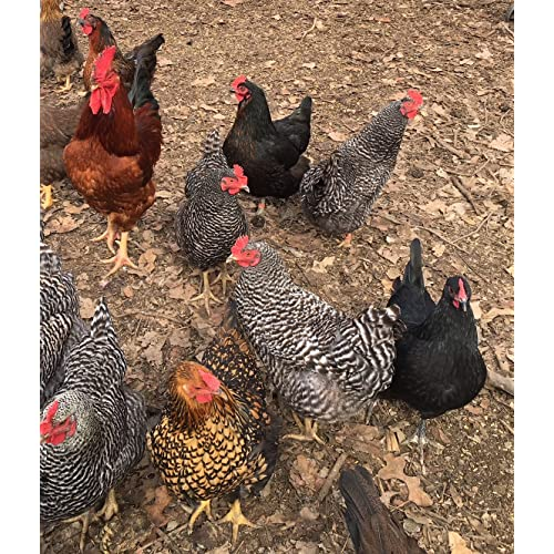 12 Free Range Chicken HATCHING EGGS BARNYARD MIX