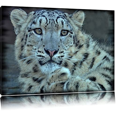 Snow Leopard Face Close Up Big Cat 12X16 Inch Framed Art Print