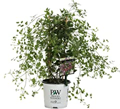 Sweet Summer Love (Clematis) Live Shrub, Red-Purple Flowers, 1 Gallon