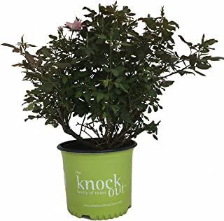 Rose Blushing Knockout in 2 Gallon pot (Pink)