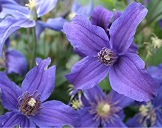 Clematis Sapphire Indigo Potted Plant, Nice Starter Plant, Nice addition to your Garden, Simply Gourgeous Flowering Perrenial