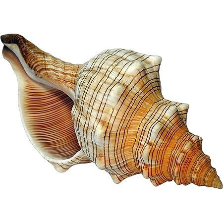 Kaltner Präsente Idée Cadeau – Coquillage Escargot marin 14-15 cm Grand modèle Fasciolaria Trapezium