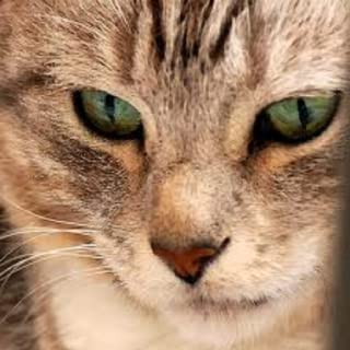 Cat Sounds, Images, Breeds and Care Information ( no Advertisements )