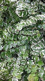 Sandys Nursery Online Ficus Pumila Variegata Creeping Fig, Wall Climber, Lot of 2 Starter Plants 2.5 inch Pot
