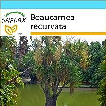 SAFLAX - Set regalo - Pata de elefante - 10 semillas - Con caja regalo/envío, etiqueta para envío, tarjeta de felicitación y sustrato de cultivo y fertilizante - Beaucarnea recurvata