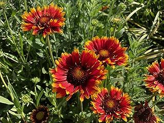 P019S. Helenium Mix - 30 Seeds