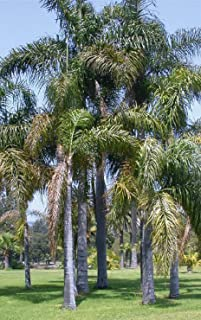 queen palm tree seeds