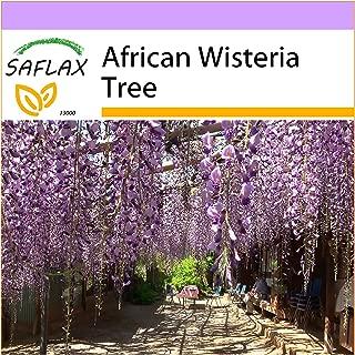 SAFLAX - African Wisteria Tree - 10 Seeds - Bolusanthus africanus