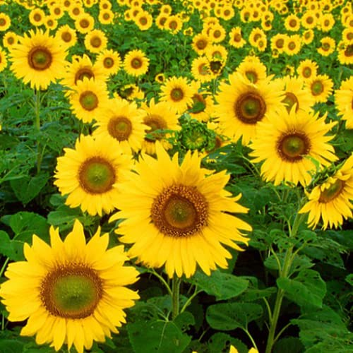 Flower Field Wallpaper