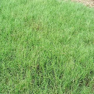 Giant Bermuda Grass Seed