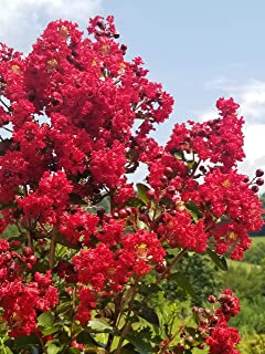 Dynamite Red Crape Myrtle Tree - Live Plants Shipped in Quart Containers (No California)