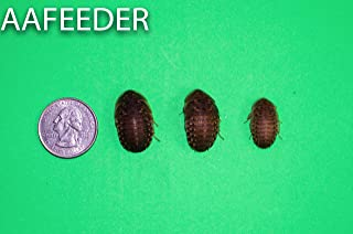 Dubia Roaches 100 Large