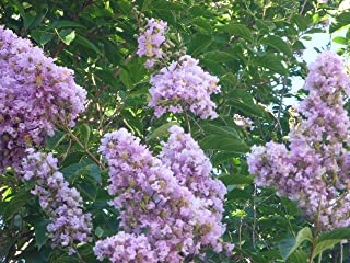 Muskogee Crape Myrtle 'Lagerstroemia indica x fauriei' 9-12