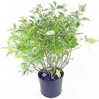 Cornus ser. 'Baileyi' (Red Twig Dogwood) Shrub, white flowers, #3 - Size Container