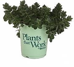 Plants That Work - in Nooks & Crannies Lime Zinger Sedum - Sedum Lime Zinger - 19cm
