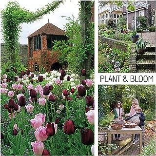 Best shamrock holland grown plant bulbs Reviews